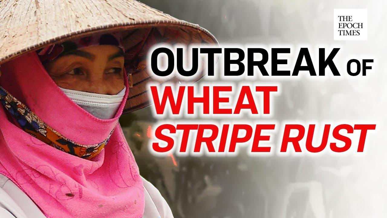 china-reports-severe-epidemic-of-wheat-ccp-virus-covid-19-coronavirus-epoch-news